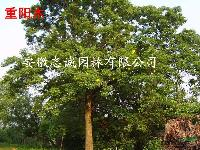 安徽肥西 重阳木、白玉兰、水杉、大叶女贞、桂花、马褂木