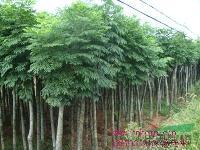 供应杜英、八月桂、四季桂、香樟、罗汉松、八月桂、四季桂、栾树