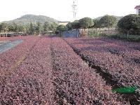 大量供应红花继木、杜鹃、红叶石楠、月季、龟甲冬青