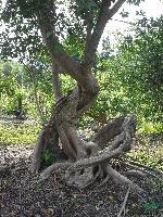 榕树树桩盆景
