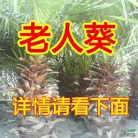 批发老人葵一米以上各个规格 棕榈 加州蒲葵箬棕 工程行道绿化