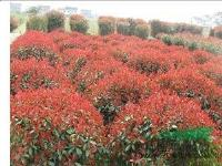 红叶石楠球/柱子/篱笆/色块苗圃直销,土球好