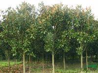湖南广玉兰5-6-8-10-12-15-18公分广玉兰树
