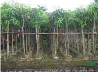 绿化芒果供应。地苗袋苗均有