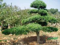 湖南造型罗汉松价格、湖南造型榆树价格、湖南造型红花继木价格