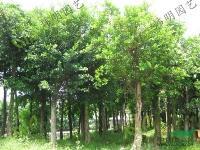 出售各类榕树:小叶榕/柳叶榕/垂叶榕/黄金榕/星光榕/黄榕等