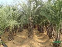 布迪椰子托杆50-5米地苗,袋苗最新报价