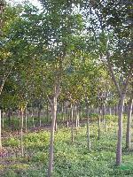 大叶榕:5-80公分地苗,袋苗,自产自销