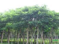 凤凰木:8-80公分地苗,袋苗,自产自销