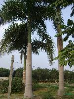 大王椰子:托杆2-9米地苗和袋苗,自产自销
