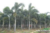 狐尾椰子:头径25-45公分地苗,袋苗