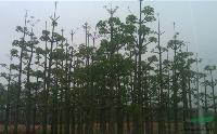 木棉:米径7-80公分地苗,袋苗,自产自销
