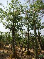 美人树(美丽异木棉)米径7-50公分地苗和袋苗,自产自销