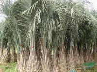 布迪椰子:托杆30-4米地苗和袋苗,自产自销