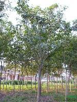 大叶榕:(黄葛树)米径5-80公分地苗和袋苗,自产自销