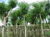 凤凰木:米径8-120公分地苗和袋苗,自产自销