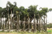 狐尾椰子:托杆2-4米地苗和袋苗,自产自销