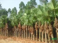 蒲葵托杆1-8米,高杆,矮蒲葵,地苗和袋苗,自产自销