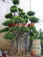 榕树盆景,绿化树盆景:高度2-7米,盆栽苗,自产自销