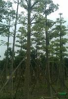 木棉:米径5-100公分地苗和袋苗,红花木棉,自产自销