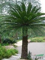 苏铁(铁树)托杆20-3米地苗和袋苗,自产自销