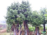 天竺桂;米径5-40公分地苗和袋苗,自产自销