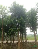 重阳木(秋枫)米径5-100公分,地苗和袋苗,自产自销