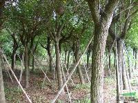 鸡冠刺桐;米径6-35公分,地苗,假植,自产自销