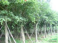 鸡冠刺桐(象牙红)米径5-35公分,地苗和袋苗,自产自销