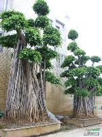 榕树盆景,高度2-7米,各种造型,绿化树盆景,自产自销