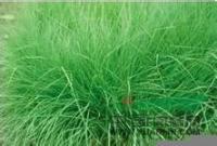 提供弯叶画眉草种子