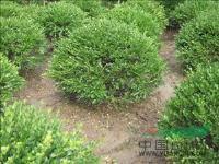 蔷薇、爬藤月季杯苗/地栽苗,苗圃低价,苗子粗壮齐整
