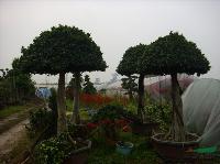 榕树盆景,高度2-7米,造型,绿化树盆景