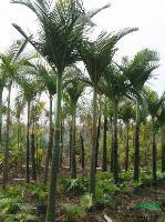 假槟榔:托杆2-8米地苗和袋苗,自产自销