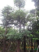 盆架子:米径5-100公分地苗和袋苗,自产自销