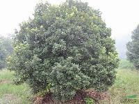 杨梅:高度1-5米杨梅球,地苗和袋苗,自产自销