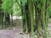 佛肚竹:袋苗,紫竹,唐竹,小刚竹,龟甲竹,乌哺鸡竹等