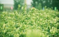 苗圃优质低价:金银花,,苗子粗壮齐整
