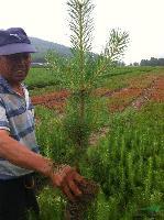 最新供应:70-1米樟子松苗