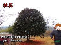 安徽肥西供应:桂花、香樟、女贞、红叶李、丛生女贞、无患子