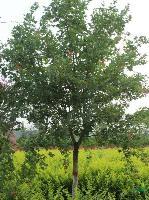 供应国槐、龙爪槐、油松、西府海棠、樱花、柳树等