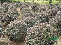 大量供应湖南红花继木/红花继木价格/造型红花继木/红花继木球