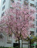 宫粉紫荆|洋紫荆|秋枫树|菩提榕树|美丽木棉|小叶榄仁