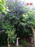 安徽肥西乔木灌木常年供应:朴树、乌桕、三角枫、紫薇、l无患子