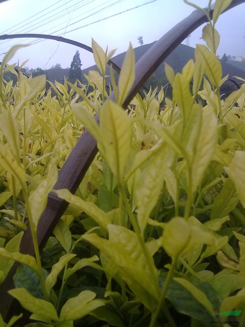 黄金叶茶树苗价格表 图片合集