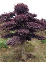 造型红花继木桩,嫁接红枫,造型榆树,移栽杨梅树,罗汉松等等