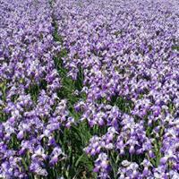 萧山大量供应西伯利亚鸢尾1000万芽。。。