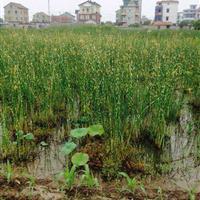 杭州萧山专业大量供应青叶水葱