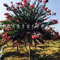 紫薇树报价,浙江嵊州紫薇树价格,紫薇树基地