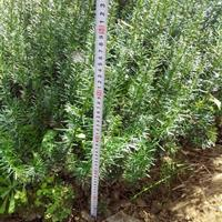 批发曼地亚红豆杉、南方红豆杉,江西红豆杉小苗批发价格